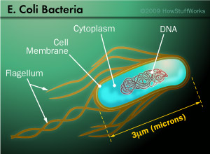 cell-ecoli